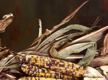 The length of corn ears is a quantitative trait.