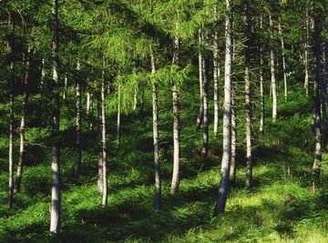 A coniferous forest.