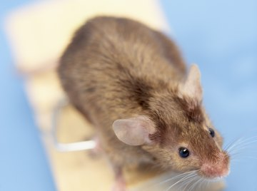 Rat traps can be an effective way of ridding your home of the pests.