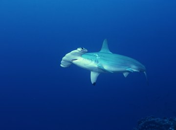 Hammerhead sharks have several defensive abilities
