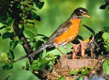 The American robin