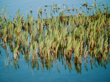 Cattails are emergent grasses found throughout North America.