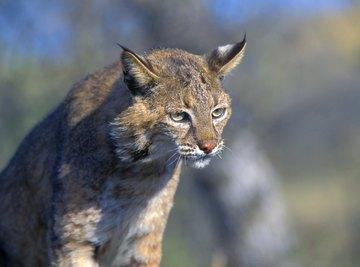 A bobcat stalks pray in the wild.