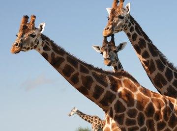 How Do Giraffes Sleep