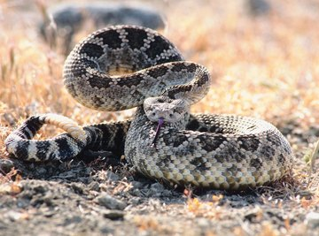 Western diamondbacks are Texas' longest venomous snakes.