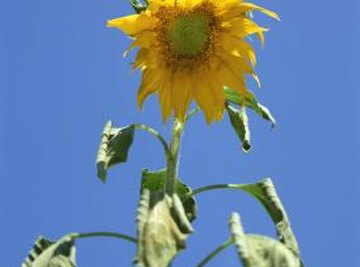 Plants receive energy from the sun via their leaves.