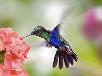 Hummingbirds can hover and fly backwards like helicopters.