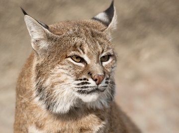 Bobcats prey on everything from crayfish to the occasional deer.