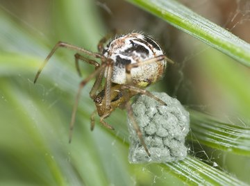 Spider beside large sac of eggs