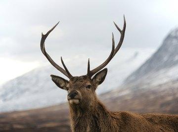 Why Do Deer Lose Their Antlers?