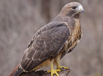 Buzzards are hawks, not vultures.