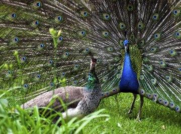 How Do Peacocks Mate