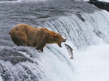 Bear catches salmon in river