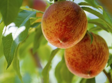 Georgia is famous for its delectable peaches.