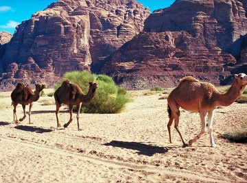 Camels have behavioral, structural and physiological adaptaions that conserve water.