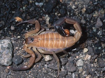 Some of the smallest scorpions are the most dangerous.