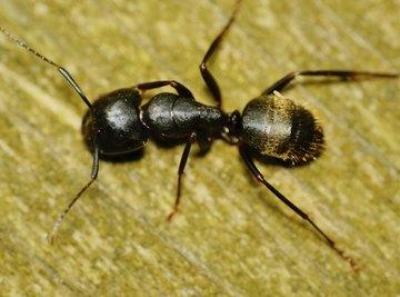 Black carpenter ant on wood.