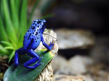 A blue poison dart frog sits on a leaf on a rock.