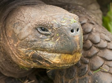 A Galapagos tortoise at an Australian zoo lived to 176 years old.