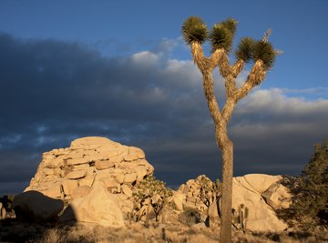 The Joshua tree is an icon of the Mojave Desert.