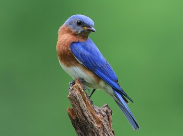 What Direction Should a Bluebird House Face