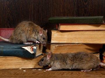 How Big Can a Rat Get?
