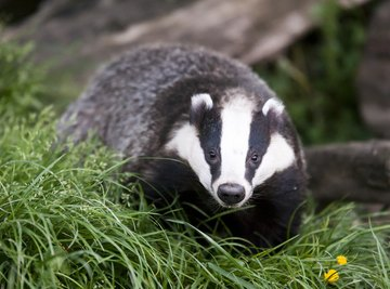 What Is the Difference Between a Badger and a Wolverine