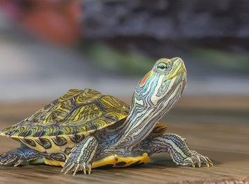 What Animals Eat Turtles?