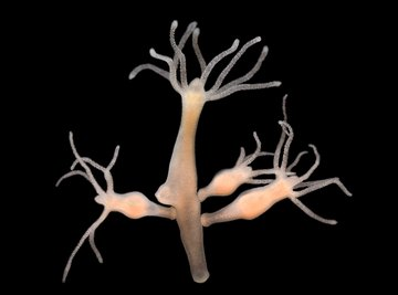 What Type of Symmetry Does a Hydra Have?
