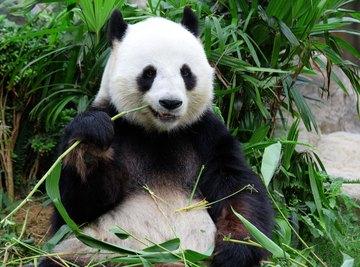 How Do Giant Pandas Survive