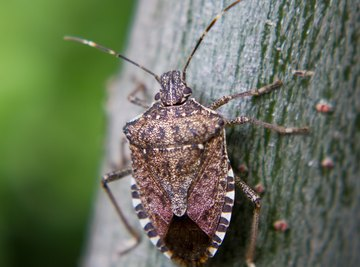 The Life Cycle of a Stink Bug