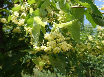 What Does a Basswood Tree Look Like?