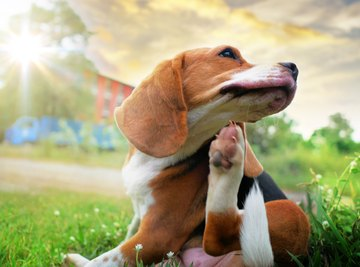 The Difference Between Human Fleas & Dog Fleas