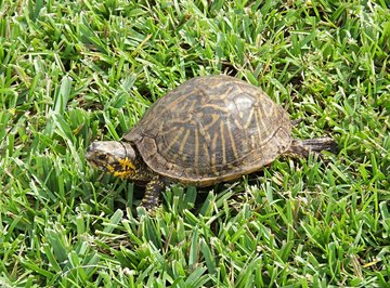 Behavioral Adaptations of the Box Turtle
