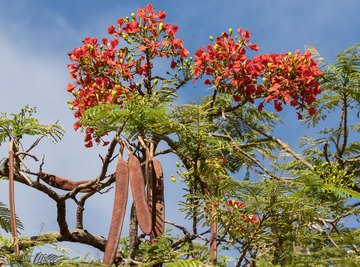 Growth Rate of the Royal Poinciana