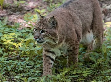What Types of Wild Cats Live in New York?