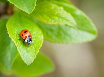 The Differences Between Ladybugs & Butterflies