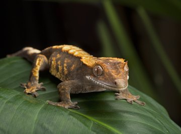 What Is the Difference Between Lizards & Geckos