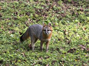 Gray Fox Adaptations & Survival Behaviors