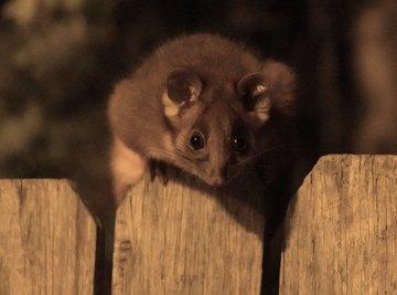 How Big Do Possums Get?