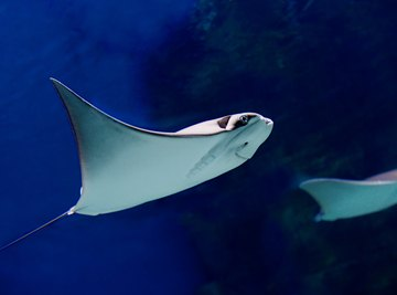 What Are the Adaptations of a Stingray
