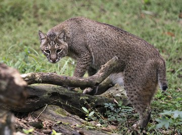 Information on Bobcats for Kids