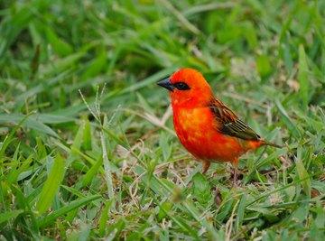 What Eats the Cardinal Bird?