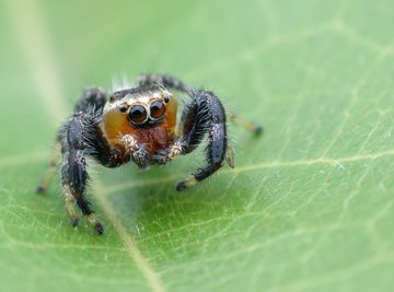 Types of Spiders: Black With White Dots
