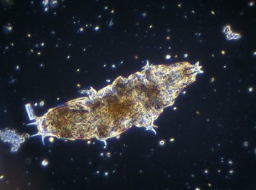 Tardigrades, also called water bears, are now on the moon.