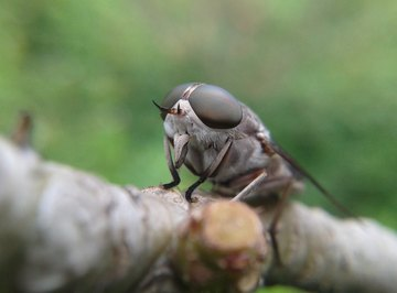 What Is a Blue-Tailed Fly?