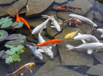 What Fish Will Help Clean Up a Pond