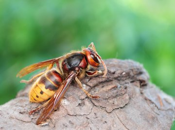 What Are the Benefits of Hornets
