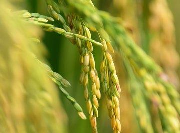 Golden rice has been a controversial crop.