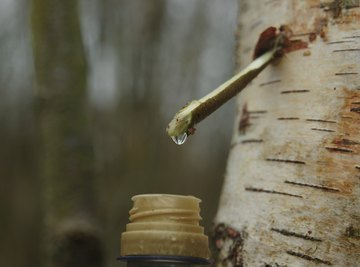 What Is Tree Sap Used For?